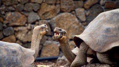 Giant Endangered Galapagos Tortoises 1200x800