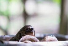 SLOTHS Natures Slowest Animal 1200x800