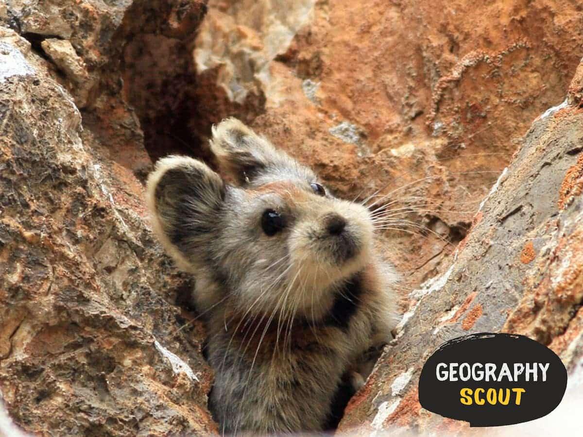 The Unbelievably Cute Endangered Ili Pika 2 1200x900