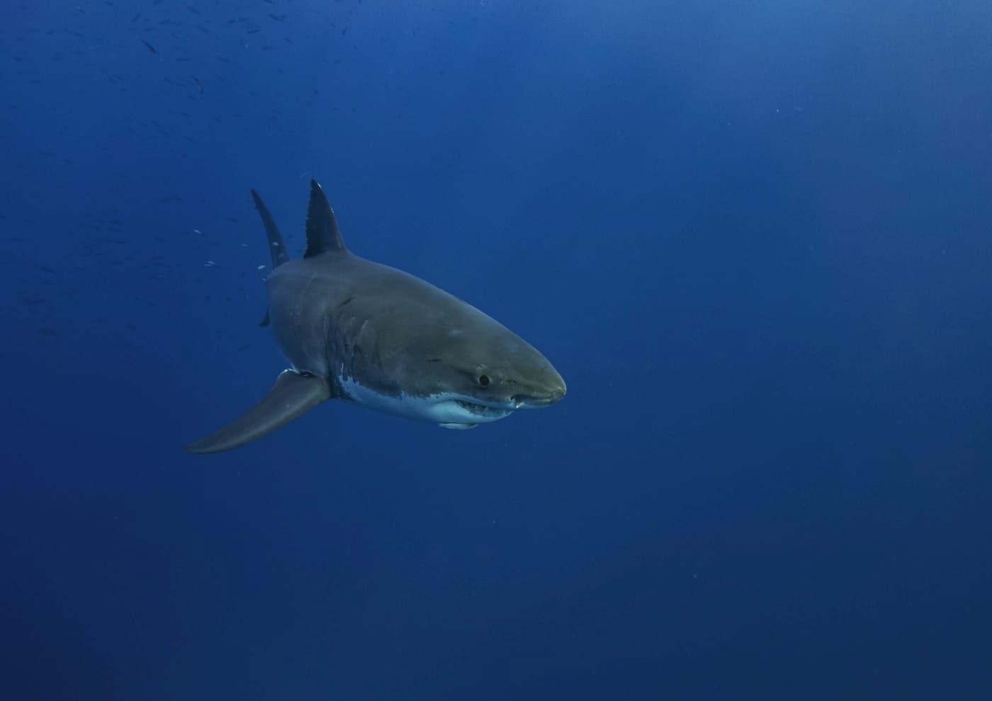 Great White Shark Mexico